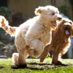 Labradoodle Breed Information