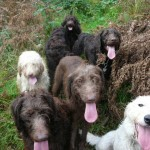 Choosing Labradoodle Breeders