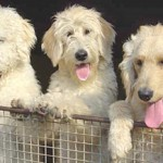 More On Labradoodle Dogs