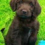 Labradoodle Puppy Information