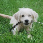 More Labradoodle Training